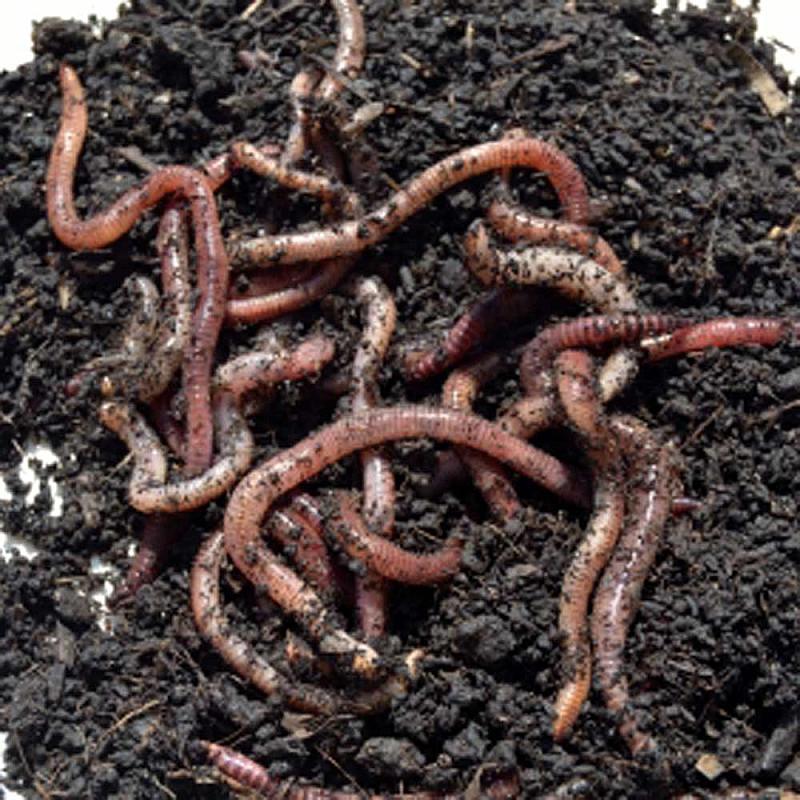 Reuzenregenwormen - 15 stuks