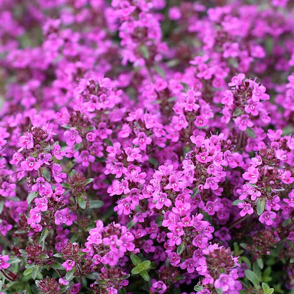 Kruiptijm Purple Beauty