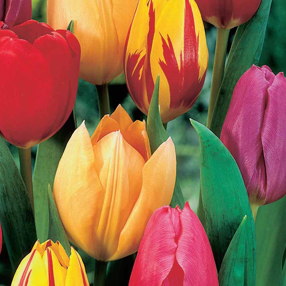 Enkelbloemige vroege tulpen mix