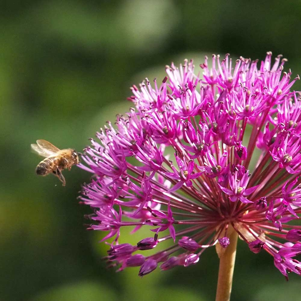 Biologische bloembollen Allium Purple Sensation