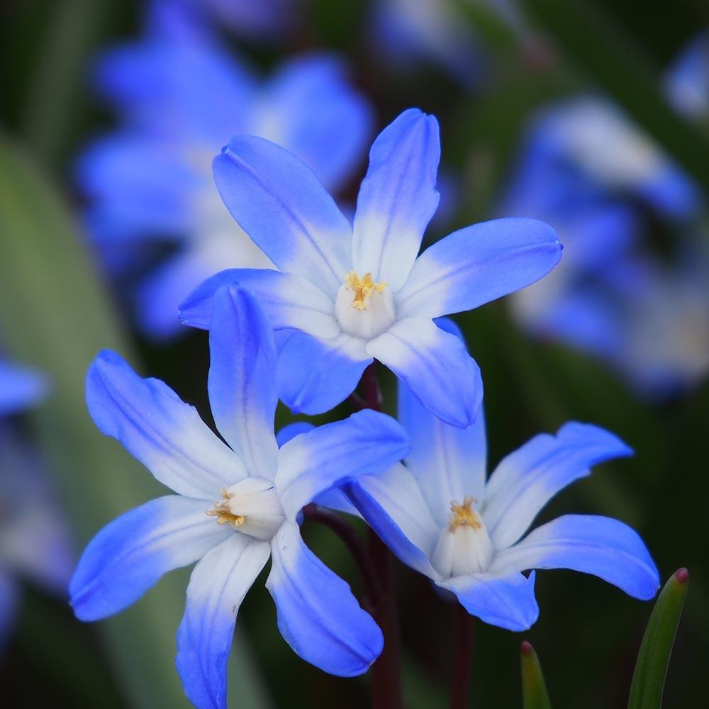 Sneeuwroem blauw - Biologische bloembollen - 10 stuks