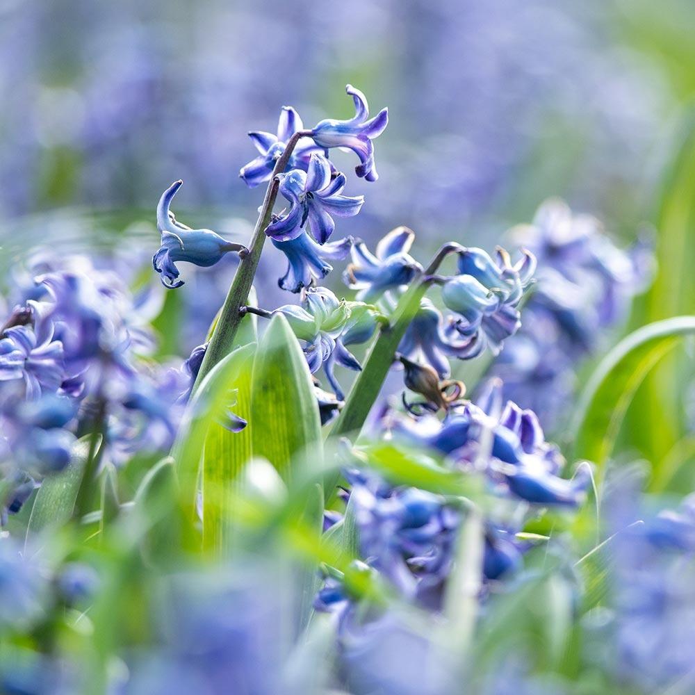 Spaanse boshyacint blauw - Biologische bloembollen - 10 stuks