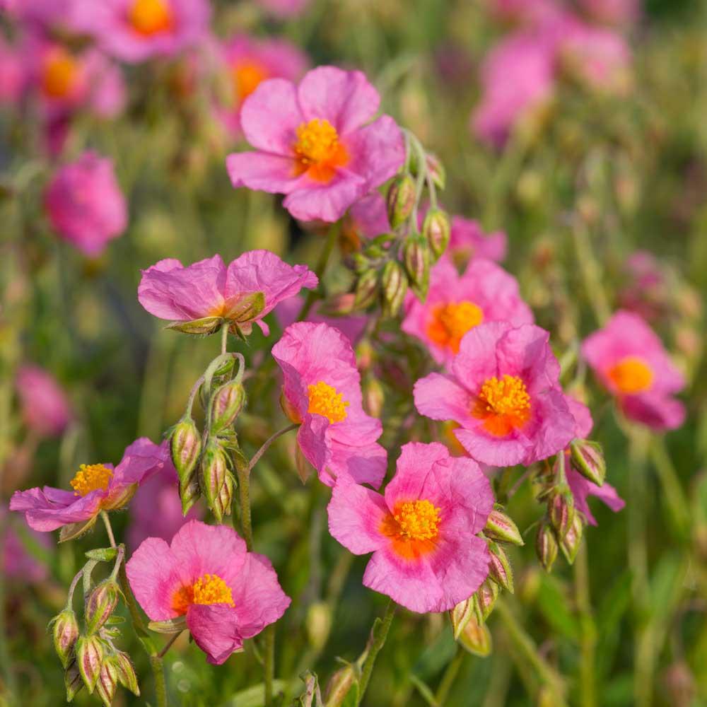 Zonneroosje Lawrensons Pink