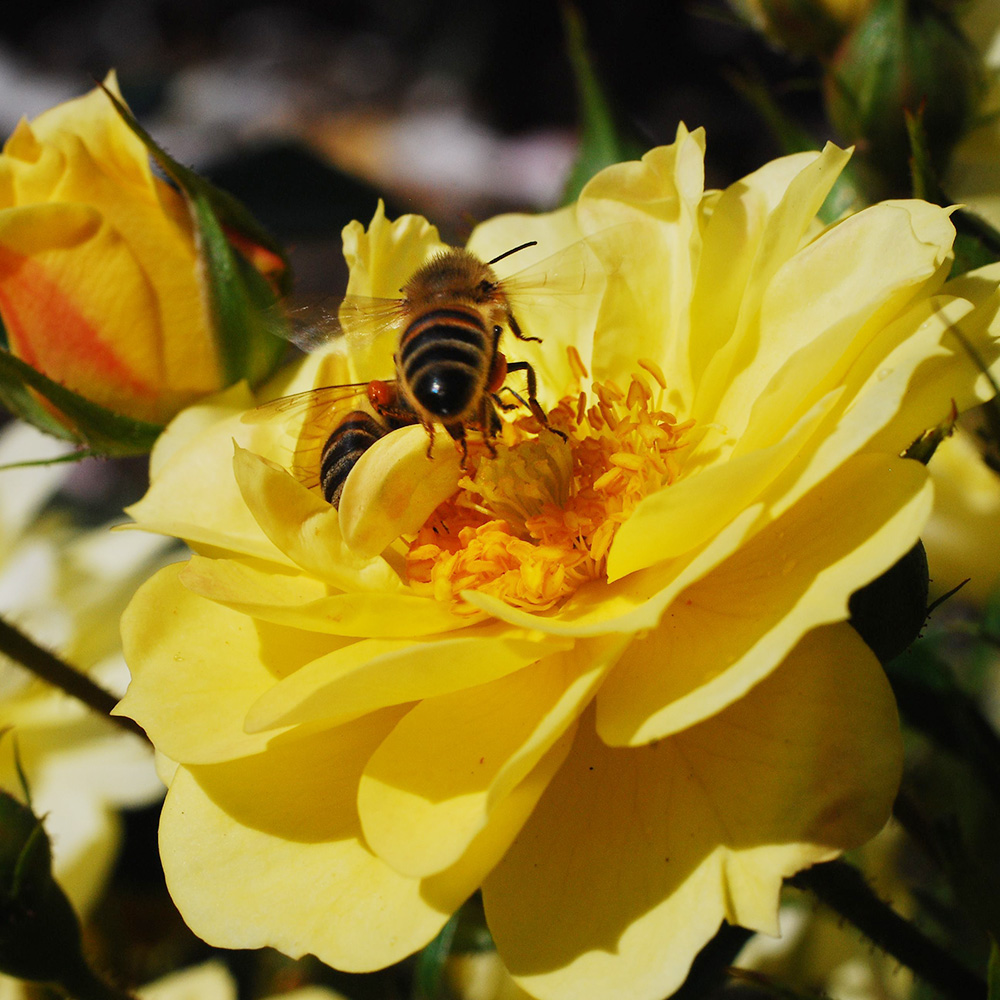 Bijenweelde� geel
