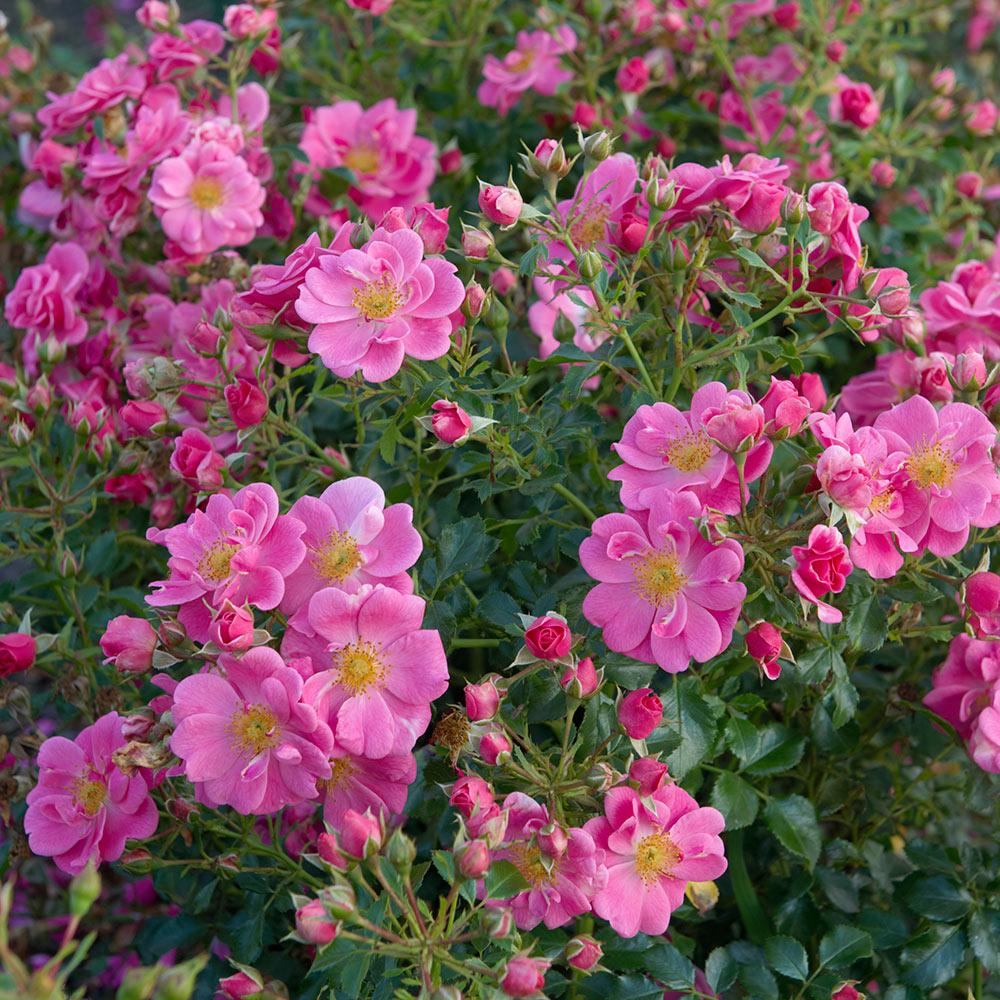 Bijenweelde� roze