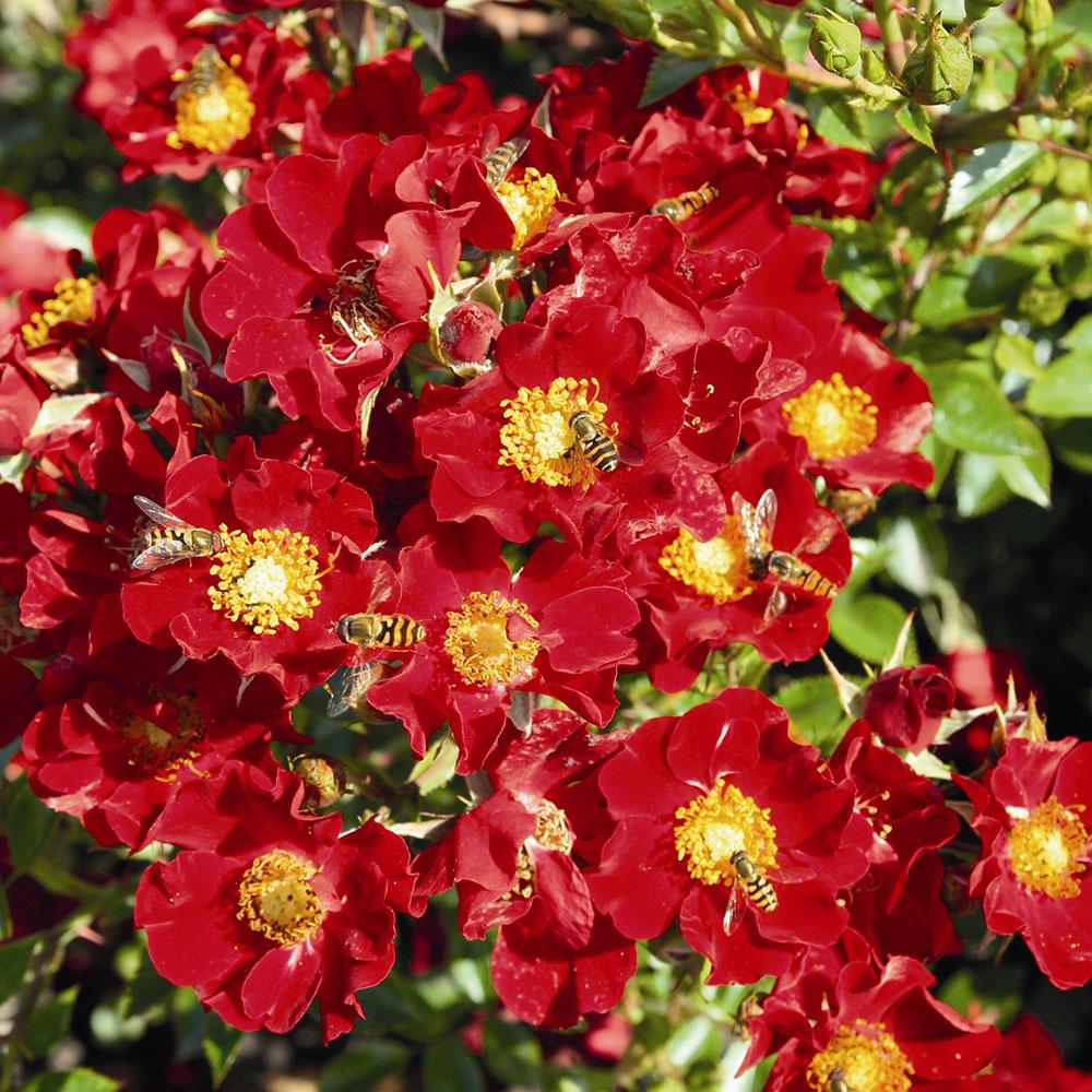 Bijenweelde� rood