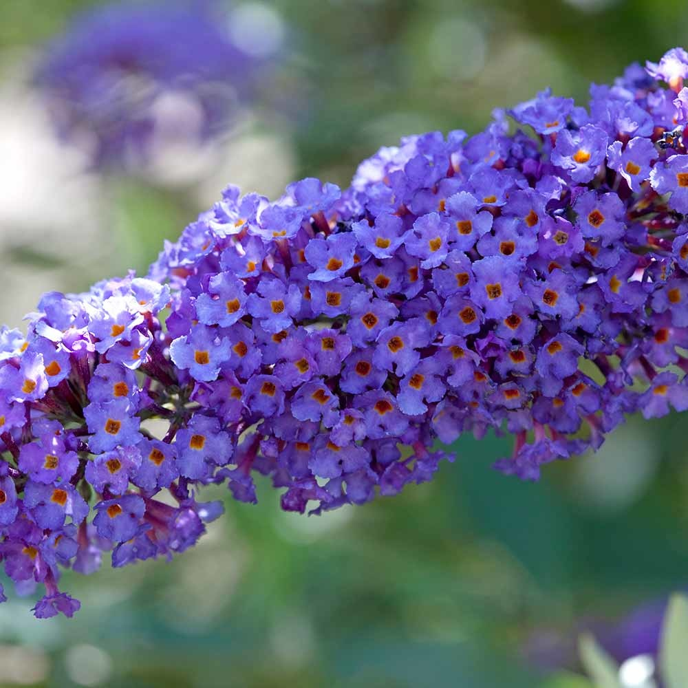 Vlinderstruik Buddleja davidii Nanho Blue