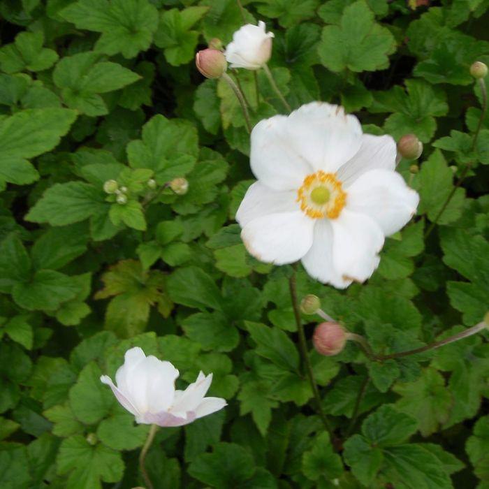 Anemone hybrida 'Andrea Atkinson'