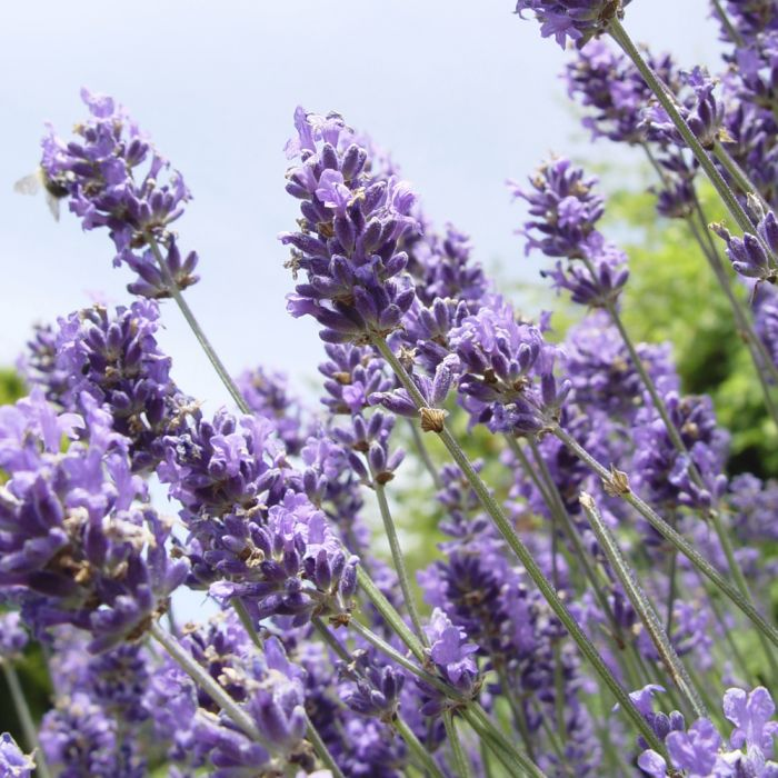 Lavendel - 8-pack