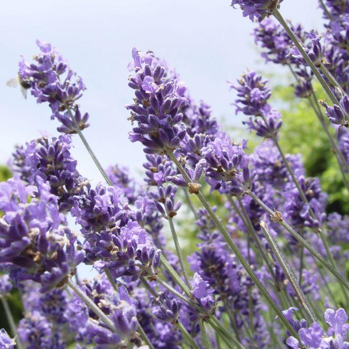 Lavendel - 14 cm