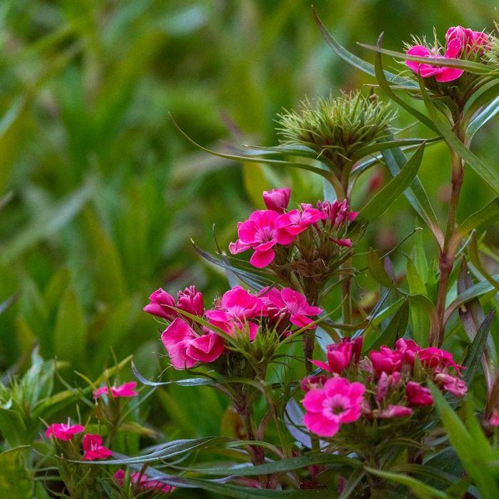 Duizendschoon roze