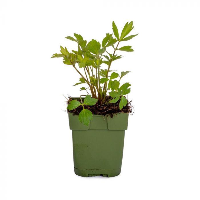 Lavas/Maggiplant - Levisticum officinale