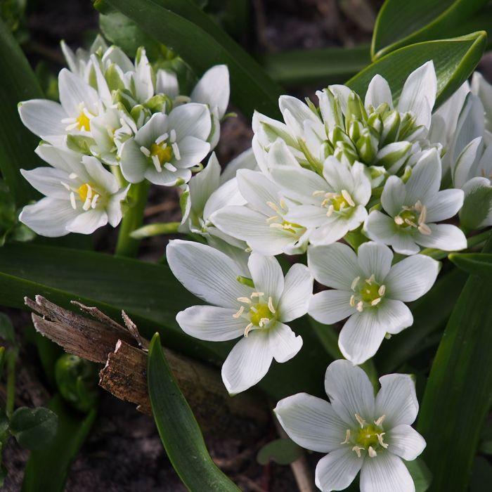 Biologische bloembollen Breedbladige vogelmelk