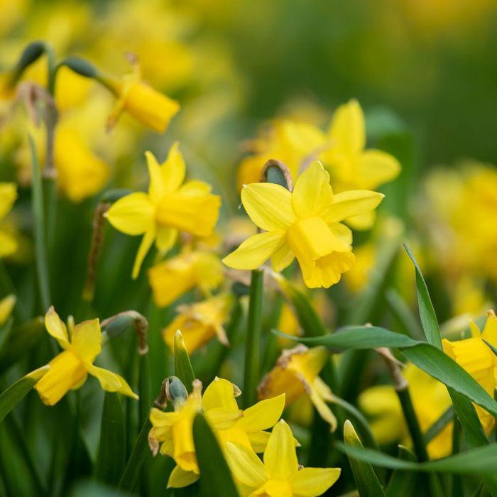 Narcis 'Tête-à-Tête' - Biologische bloembollen - 10 stuks