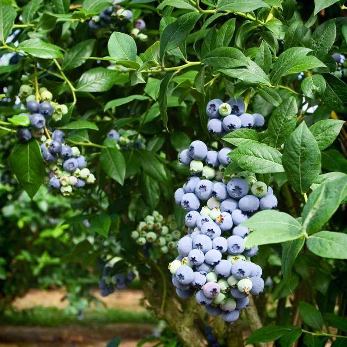 Blauwe bes 'Bluegold' (moederplant)