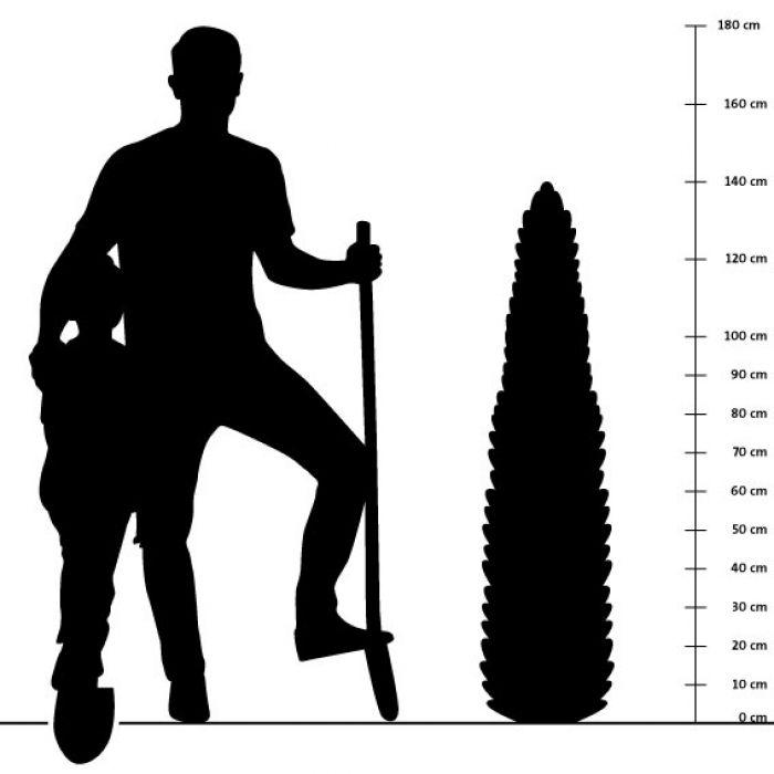 Ijzerhard - 14 cm