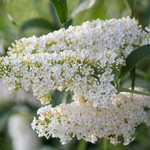Vlinderstruik Buddleja 'Dart's ornamental White'