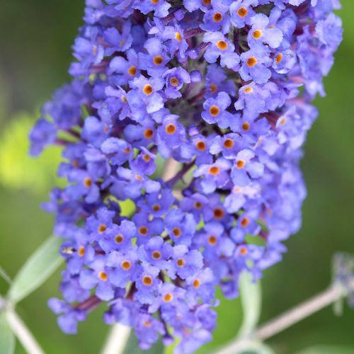 Vlinderstruik 'Blue Horizon'
