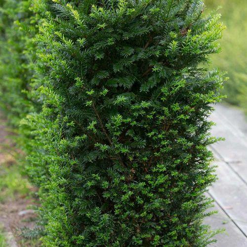 Venijnboom - 8-pack