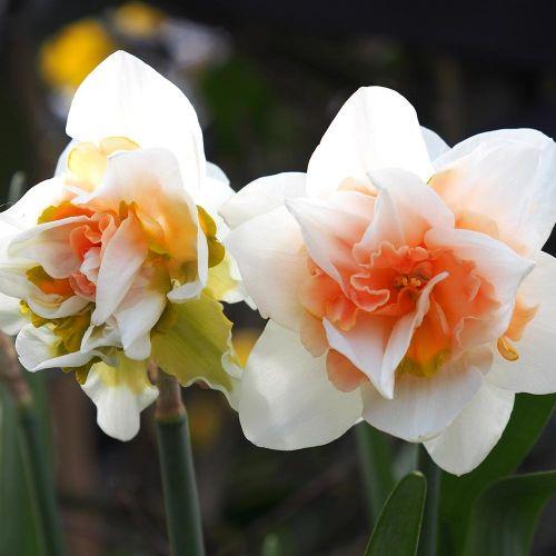 Narcis 'Replete' - Biologische bloembollen - 10 stuks