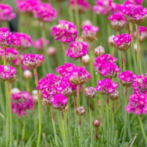 Rood Engels gras