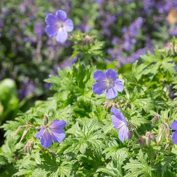 Geranium 'Johnson's Blue