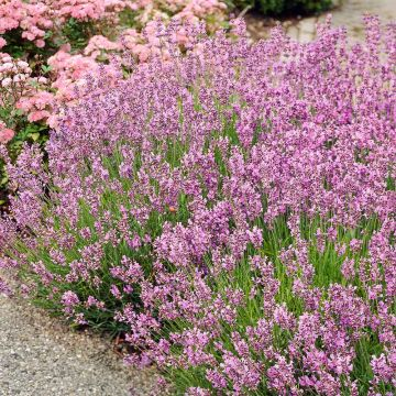 Roze lavendel - 8-pack
