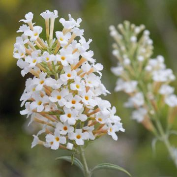 Vlinderstruik Buddleja 'White ball'
