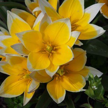 Biologische bloembollen Tulp 'Tarda'