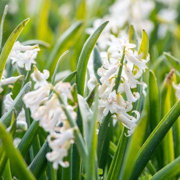 Spaanse boshyacint wit - Biologische bloembollen - 10 stuks