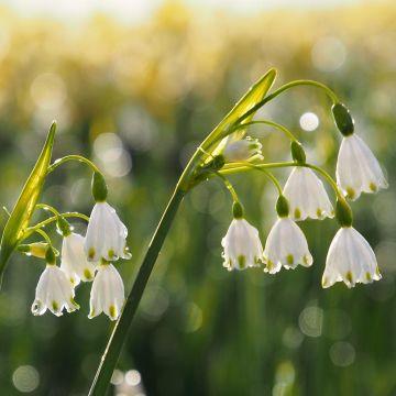 Zomerklokje - Biologische bloembollen - 5 stuks