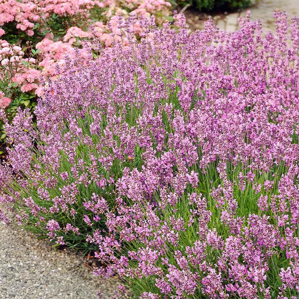 Roze lavendel