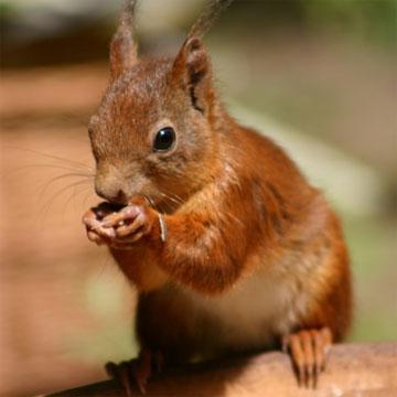 Wat eet een eekhoorn, voer voor eekhoorn