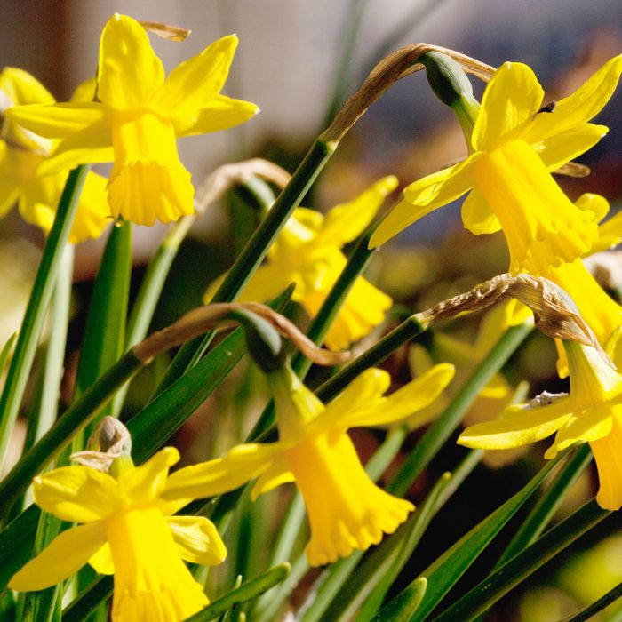Narcis Téte a Téte bloembollen