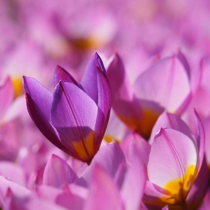 Biologische bloembollen Tulp 'Lilac Wonder'