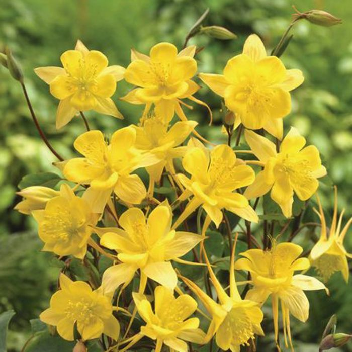 Gele Akelei (Aquilegia chrysantha 'Yellow Queen')