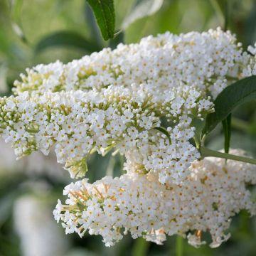 Vlinderstruik 'Dart's ornamental White'
