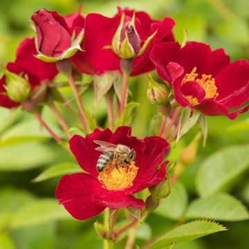 Bijenweelde pakket