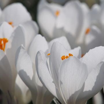 Biologische bloembollen Krokus Jeanne D'Arc