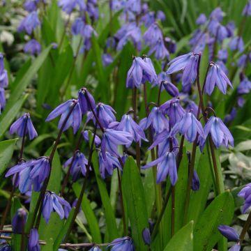Oosterse Sterhyacinth bloembollen