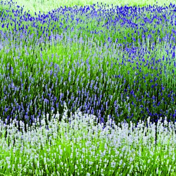 Witte Lavendel
