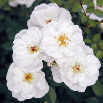 Bijenweelde® wit