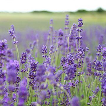 Smalbladige Lavendel